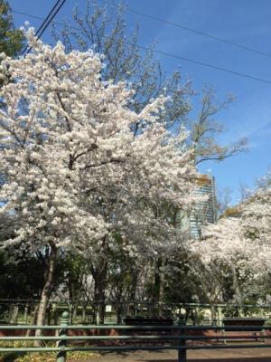 やってきました、桜の季節!小川より。