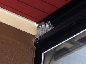かわいいツバメの巣 いざ大空へ!