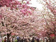 さくら満開! 当社は桜ノ宮です。